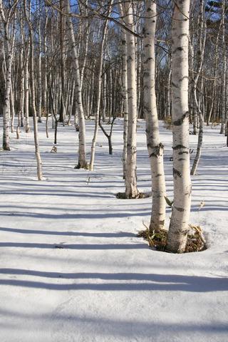 雪原への白樺の樹影