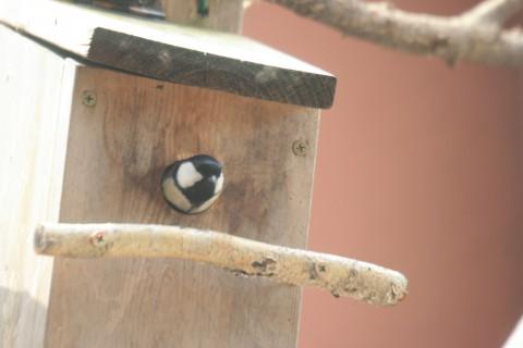 巣箱のシジュウカラ
