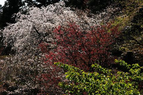 多摩森林科学園の桜