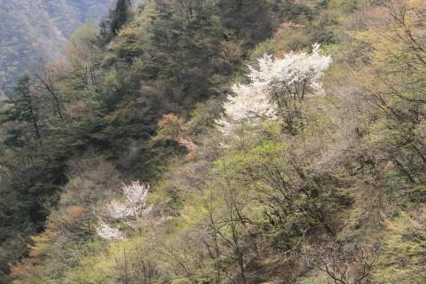 奥多摩の山桜
