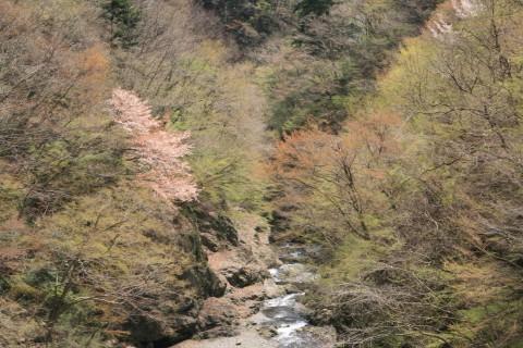 渓谷の山桜
