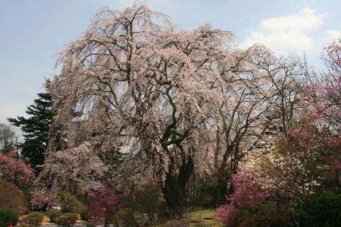富士ビューホテルの桜