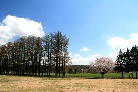 カラマツ並木と桜