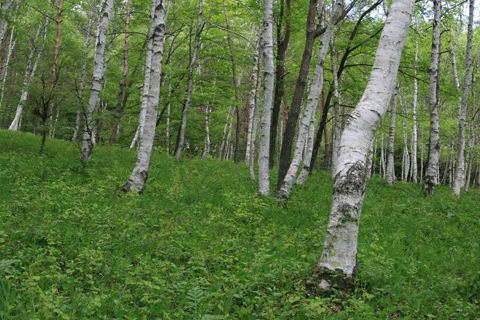 スズラン群生地の白樺林