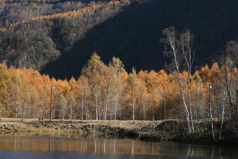 湖面のカラマツ