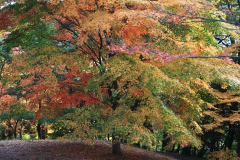 色とりどりのもみじの木