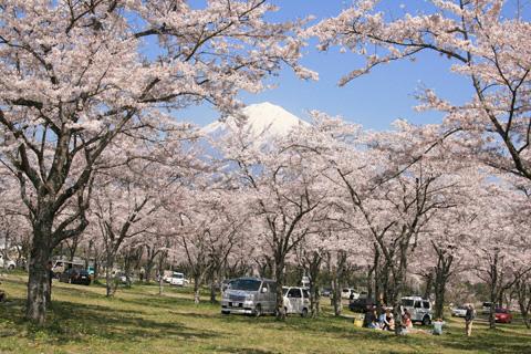 桜の林と富士山