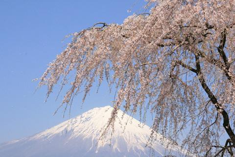 しだれ桜と富士山