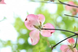 ピンクのハナミズキ