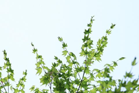 新芽のモミジ