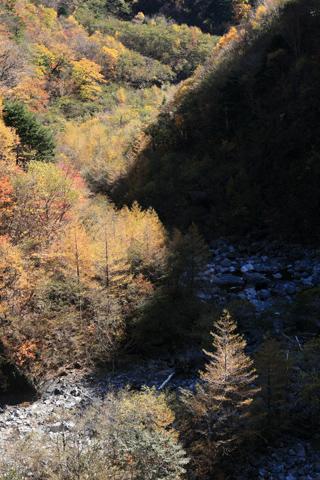 渓谷のカラマツの紅葉