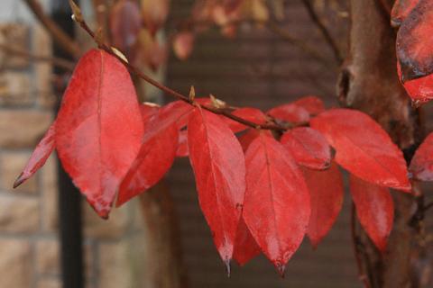 ヒメシャラの紅葉