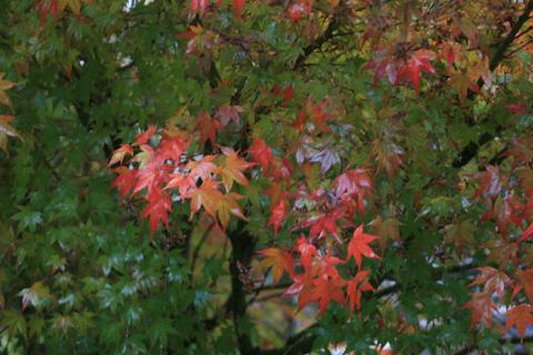 紅葉のモミジ