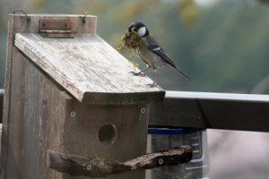 巣箱とシジュウカラ