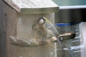 巣作りのシジュウカラ