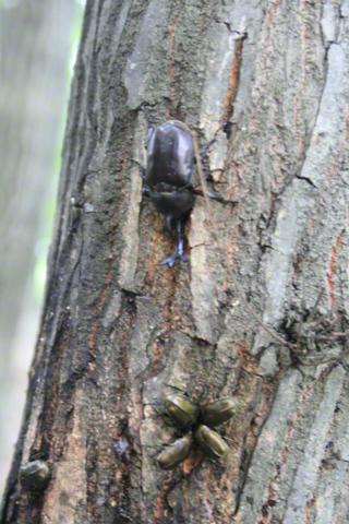 樹液に集まるカブトムシ
