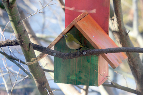 巣箱とメジロ